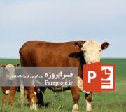 پاورپوینت پرورش گاو