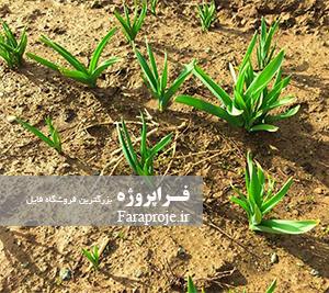 مقاله بررسی اکوتیپ های مختلف گیاه Allium hirtifolium از دیدگاه مولکولی و مورفولوژیکی و فیتوشیمیایی