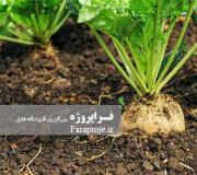 مقاله بررسی نماتد چغندر قند درشهرستان چناران